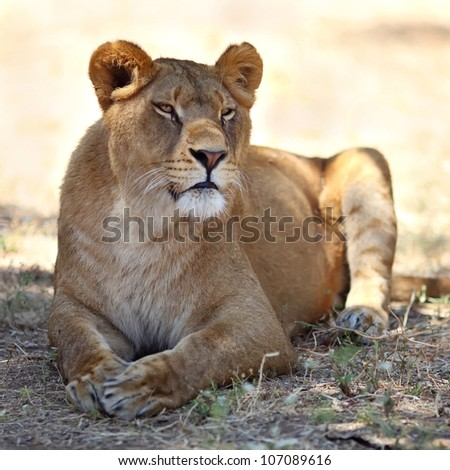 Close Up picture of lioness resting in the grass