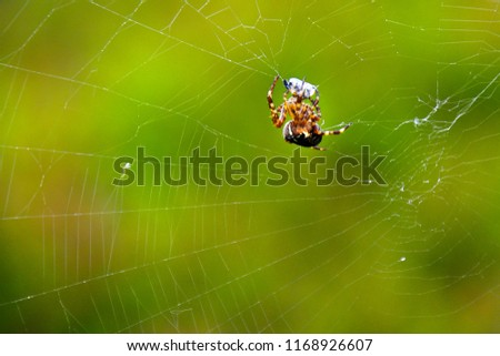 Close up picture of spider with his prey in the net. Green natural background. Species Araneus diadematus is commonly called the European garden spider, diadem spider, cross spider.