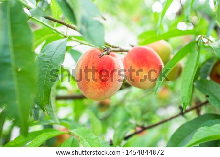 Close up Picture of the red riped peaches on the peach tree or in the organic farming orchard or home garden in summer before be picked up, sweet, delicious, tasty fruits. #1454844872