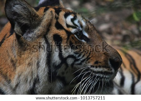 Close up picture of the tiger face, animal hunter of the forest. #1013757211