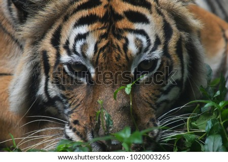 Close up picture of the tiger face, the animal hunter in the forest.