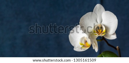 Close up picture of white flower of moth orchid against dark blue background