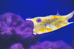 Close up picture of yellow box fish with blue dots on dark blue background in aquarium as natural underwater background with wild life concept in tropical counties in reef area as wallpaper