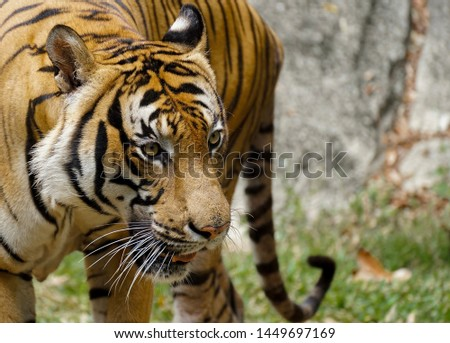 Close up picture tiger face with mouth slightly open.