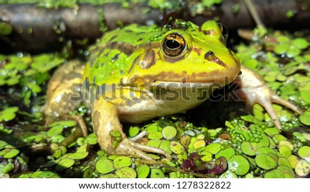 Close up picture with selective focus of a green waterfrog (Rana esculenta complex) in a pond with duckweed. The picture is shot in Bialowieza national park in Eastern Poland.