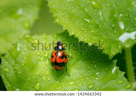 Close-up pictures of red ladybug on wet green leaves