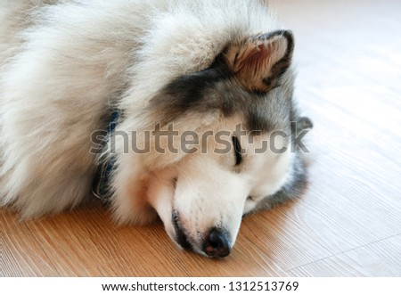 Close-up pictures of Siberian Husky are sleeping