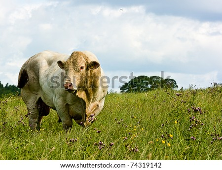 Close-up picturesque view  of a white bull grazing in a meadow.