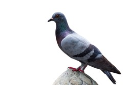Close up Pigeon Bird. / Gray pigeon bird. / Pigeon on white background with isolated this has clipping path.