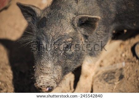 close up piglet at the mountain hill village in Thailand   #245542840