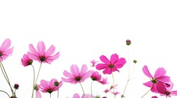 Close up pink cosmos flower in the meadow isolated on white background with copy space. Floral border and frame for springtime or summer season. Banner style.