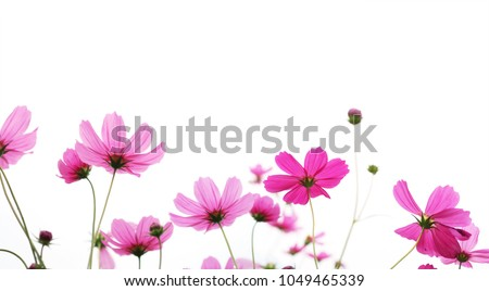 Close up pink cosmos flower in the meadow isolated on white background with copy space. Floral border and frame for springtime or summer season. Banner style. #1049465339