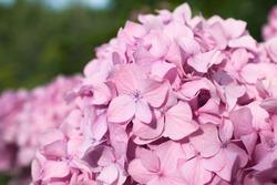 Close-up pink flowers of garden hydrangea.