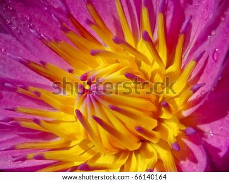 Close up pink lotus