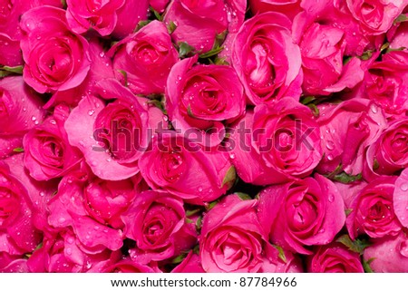 Close-up Pink roses