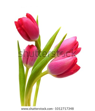 Close-up pink tulips isolated on white