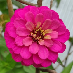 Close up Pink Zinnia Flower (Zinnia elegans) with Pink Ray Floret and Yellow Disc Floret.