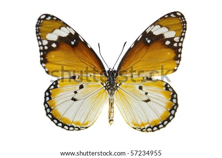 Close-up Plain Tiger Butterfly isolated on white.