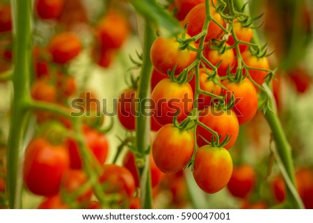 Close up, plants, tomato, tomato, tomato vine ripe tomatoes, red tomatoes are grown. #590047001