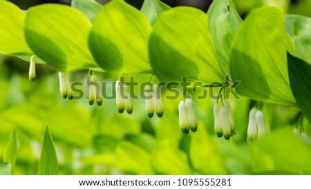Close-up Polygonatum or King Solomon's seal with little white bell flowers hanging beneath the leaves in the forest