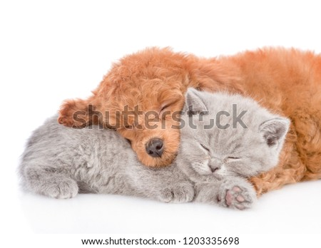 Close up poodle puppy and tiny kitten sleeping together. isolated on white background