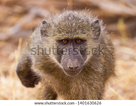 Close-up portrait face olive baboon, anubis baboon, Papio anubis, blurred backgroun, bright gold eyes, Samburu National Reserve, Kenya, East Africa