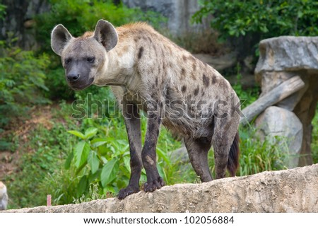 Close-up portrait image of a Spotted Hyena standing amongst the rocks