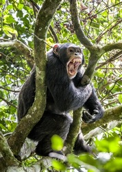 Close up portrait male of chimpanzee ( Pan troglodytes ) with open mouth  on the tree in the jungle. Kibale forest in Uganda