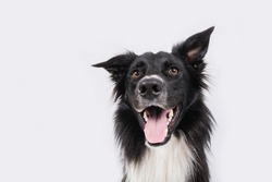 Close up portrait of a adorable purebred Border Collie looking to camera isolated over grey wall background. Funny black and white dog showing tongue.