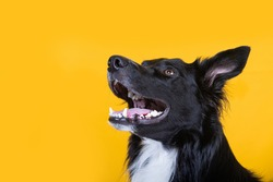 Close up portrait of a adorable purebred Border Collie smiling  looking up camera isolated over yellow wall background. Funny black and white dog showing tongue.