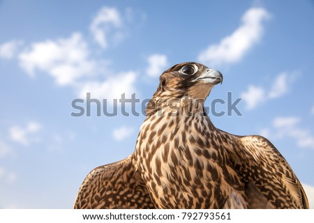 Close-up portrait of a beautiful and healthy falcon, Abu Dhabi, UAE.