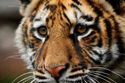 close-up portrait of a beautiful big tiger