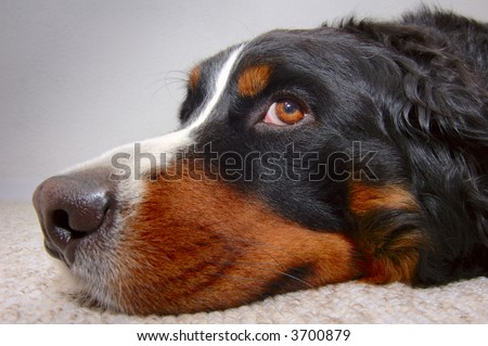 Close up portrait of a Bernese Mountain Dog (also known as Bouvier Bernois or Berner Sennenhund), lying on the carpet looking up mournfully.