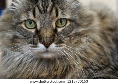 close-up portrait of A big cat with big eyes #1215730153