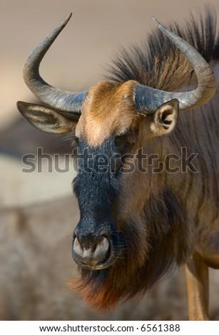 Close-up portrait of a Blue wildebeest; connochaetes taurinus; South Africa; Kalahari desert