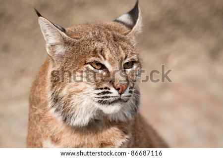 Close-up portrait of a Bobcat