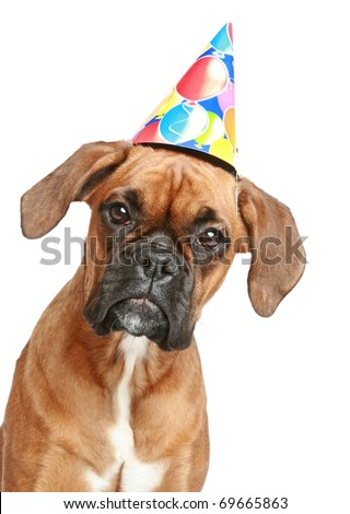 Close-up portrait of a boxer puppy in party cone on white background