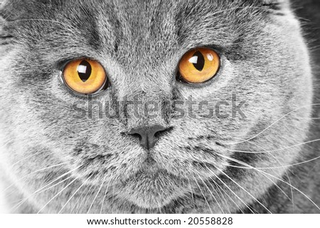 Close-up portrait of a british cat