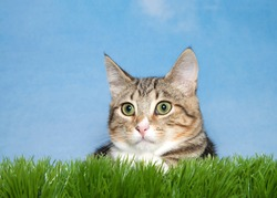 Close up portrait of a brown and tan stripped tabby kitten laying in green grass looking to viewers left. Blue background.