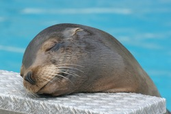 Close-up portrait of a californian sea lion resting with closed eyes and a smile on its face