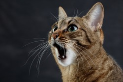 Close up portrait of a cat is surprised or amazed. Muzzle of a cute tabby cat with open mouth, selective focus.