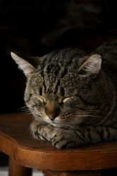Close-up portrait of a cat that lies, sleeps on a wooden chair. Sleeping cat. Pets. Taking care of pets. Rest, sleep.