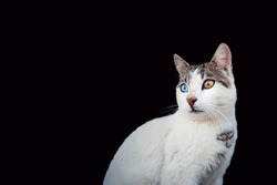 Close up portrait of a cat with heterochromia, odd eyes, on black background