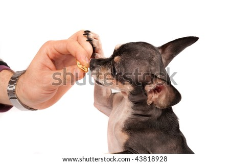 Close up portrait of a Chihuahua dog eating from his owner's hand