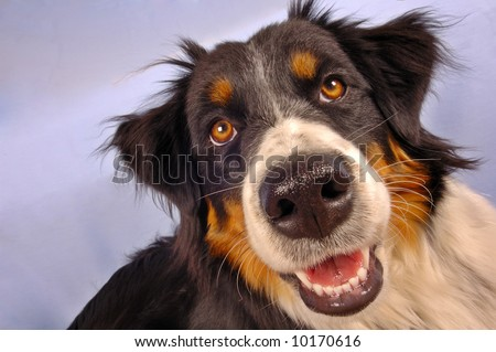 Close up portrait of a collie dog.