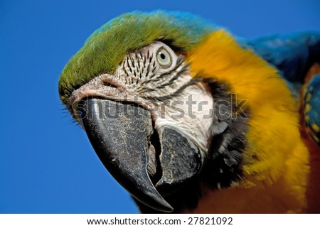 close up portrait of a colorful macaw parrot