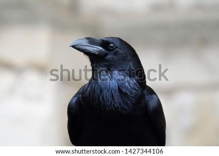 Close up portrait of a common raven (corvus corax) Сток-фото ©