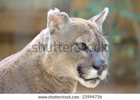 Close up portrait of a cougar stare