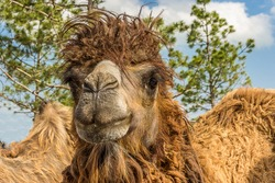 Close-up portrait of a crazy Bactrian camel (Camelus bactrianus). This two-humped camel living to the desert of Central Asia. It's a critically endangered species.