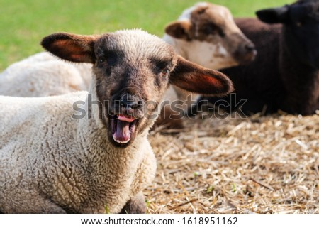 Close-up portrait of a crazy sheep, one cute little lamb with funny face looking at the camera. Two lambs sitting in blurred background. Concept of happiness, craziness, humor, free-range husbandry